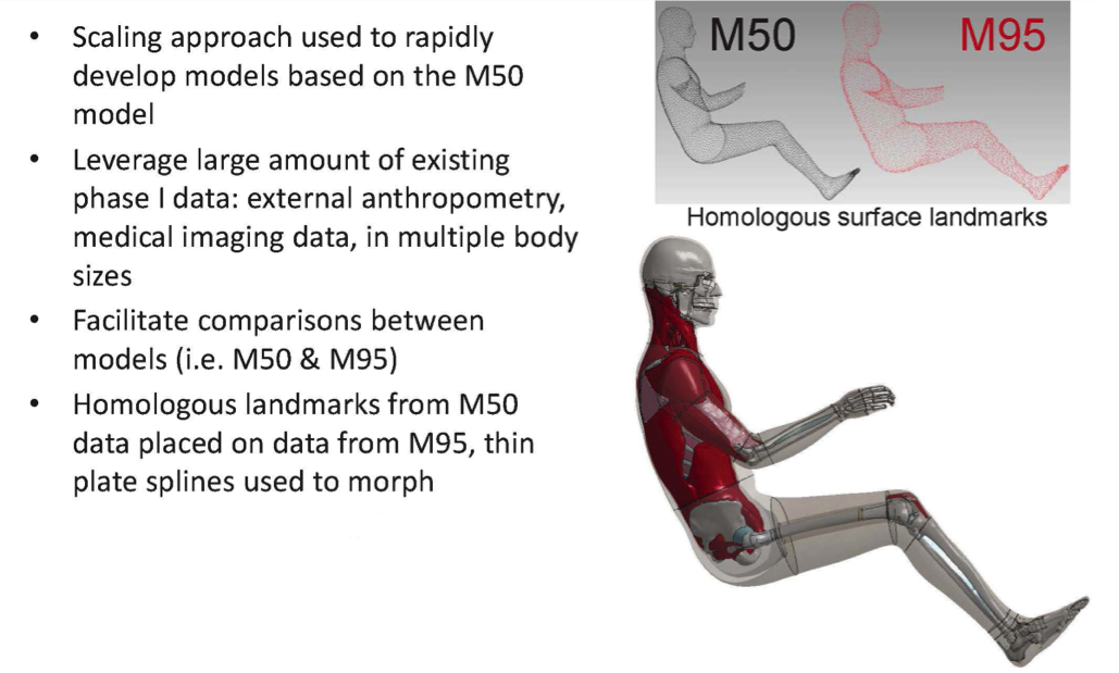 using hyperworks to develop human body models for vehicle crash, Muscles